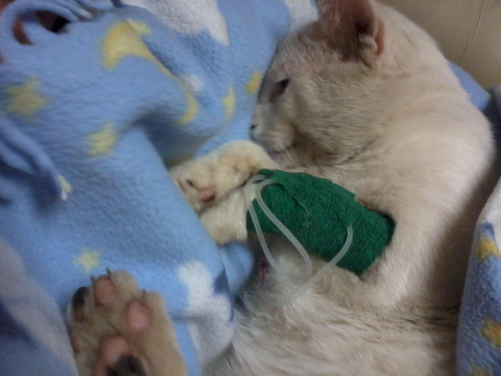 Swiper with the IV tube in his leg. The vet let me hold him while he passed away. He was such a brave little boy, and is missed and loved by all of us!