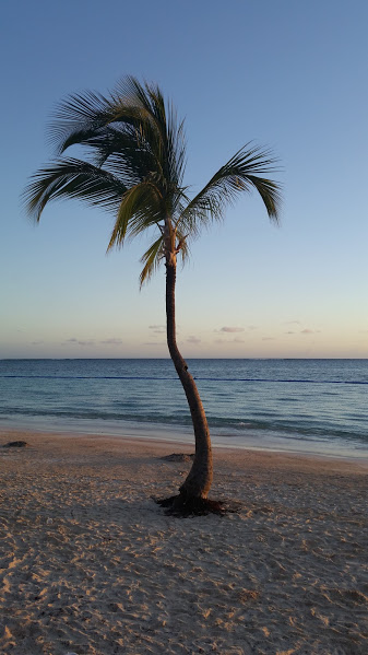 A palm tree on the beach in Punta Cana.