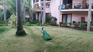 peacock on the grass at the Blau